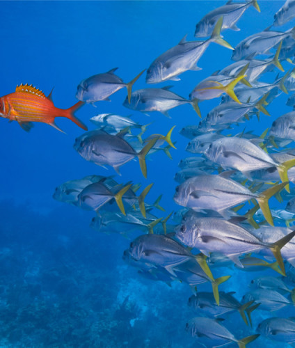 leader fish graphic